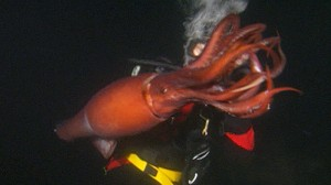 VIDEO: Jumbo Flying Squid found in San Diego waters