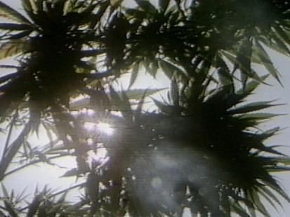 VIDEO:Californians Wrestle With Legalizing Marijuana