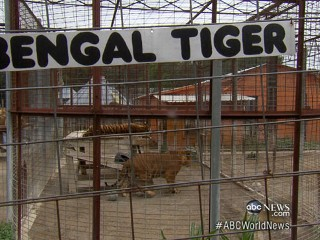 Watch: Reporter With Hidden Camera Offered Free Tiger