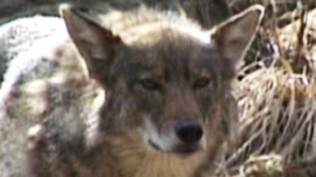 VIDEO: Run-ins with coyotes and other animals are putting humans at risk.
