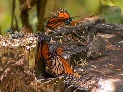VIDEO: Monarch butterflies may disappear