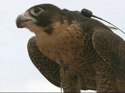 VIDEO: With 4,000-year history, sport of falconry lives on in Arabian culture.