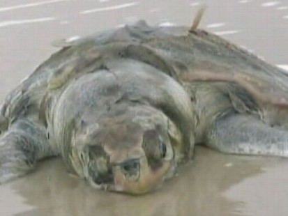 VIDEO: Jeffrey Koffman takes a look at animal habitats vulnerable to the oil slick.