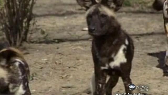 VIDEO: ABC News Matt Greenblatt has more on zoo accident.