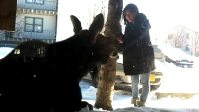 VIDEO: Chantelle Hernandezs simple stroke of a moose in Alaska has gone viral.