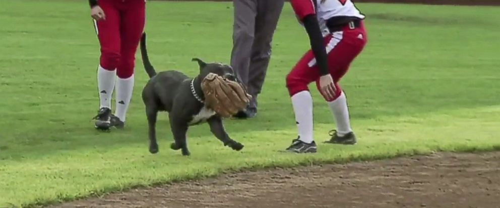 PHOTO: A pitbull carries a players glove during a game between Western Oregon and Simon Fraser University in Oregon, April 27, 2014.