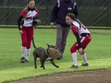 Dog Steals the Show (and Gloves) at Softball Game