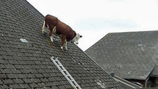 CEN cow on a roof switzerland jc 140617 16x9 608  Cow Photographed on Farmhouse Roof