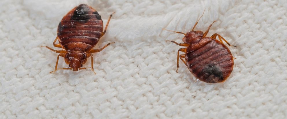 PHOTO: Bedbugs are picutred on a bed sheet in this stock photo.