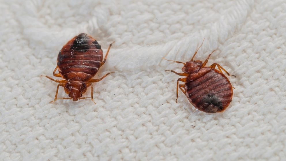 Bed bugs resistant to more pesticides, study finds