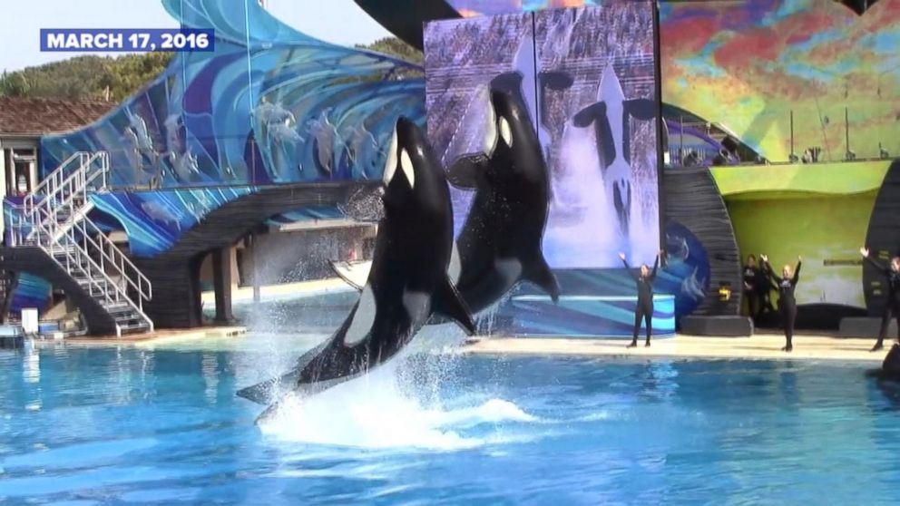 Seaworld Ends Orca Shows In 2016 Video Abc News