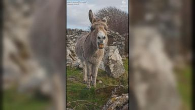'Singing' donkey hits the high notes as she tunefully serenades passerby