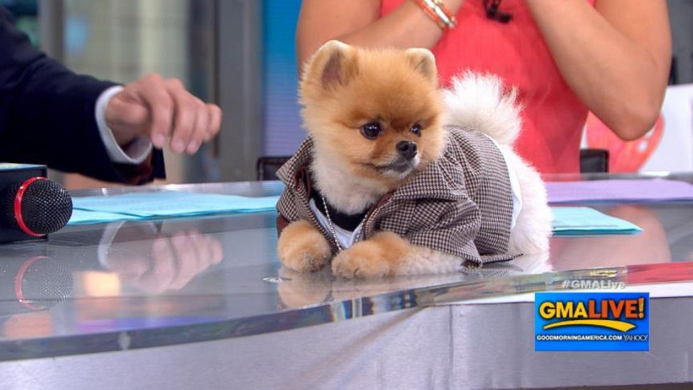 jeff the pomeranian cute dog video jiff the pomeranian hangs out on gma live 8955