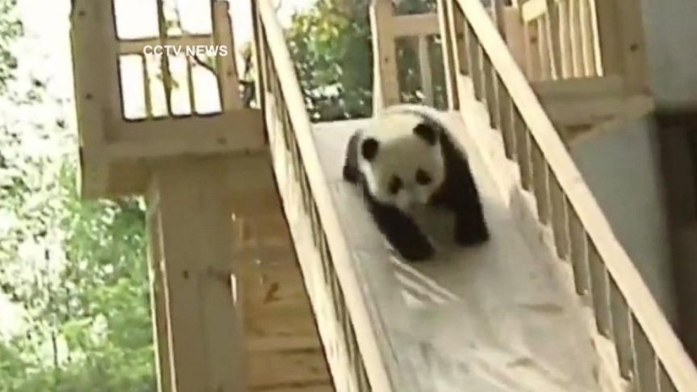 Satellite Tv Internet >> Cute Panda Video: Young Cubs Play on Slide Video - ABC News