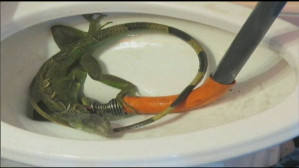 Florida Woman Has Iguana Plunged From Her Clogged Toilet