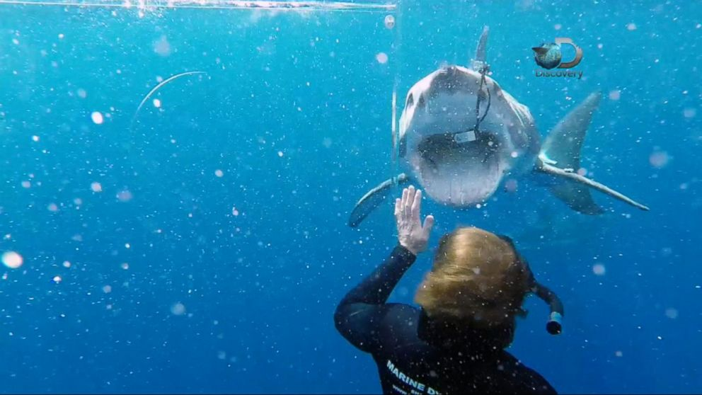 Tracking The World S Fastest Shark Video Abc News
