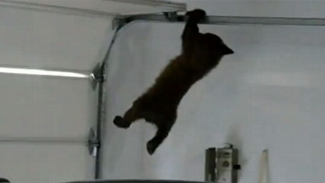 Bear Cub Stuck Hanging From Garage Door Video Abc News