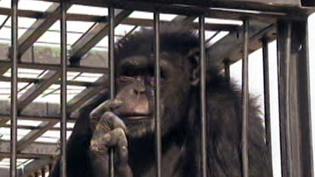 Abc Las Vegas >> Chimpanzee Escapes Cage in Las Vegas Video - ABC News