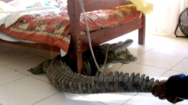 Man Spends Night With Croc Under Bed Video Abc News