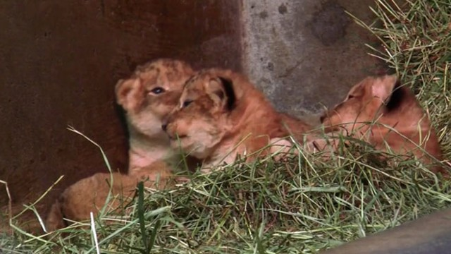 Four Baby Lion Cubs Born at Seattle Zoo Video - ABC News