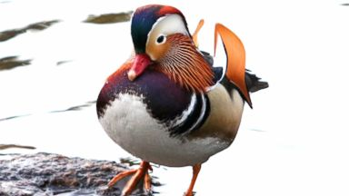 A stunning Mandarin duck is putting the fall colors in Central Park to shame and New Yorkers can't get enough