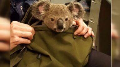 Australian Police Find Baby Koala in Woman's Backpack During Arrest