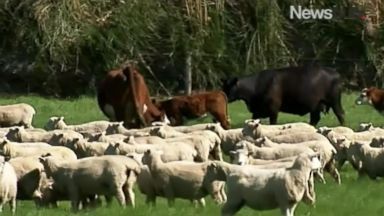 Cows Stranded by New Zealand Quake Rescued