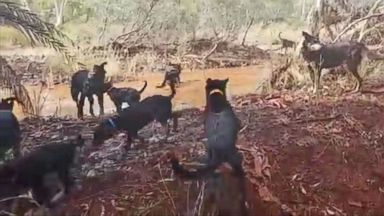 Working Dogs in Australia Go Crazy After Rare Rainfall