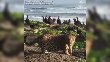 Jaguar prowls on Costa Rican beach