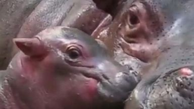 Zoo in India welcomes baby hippo