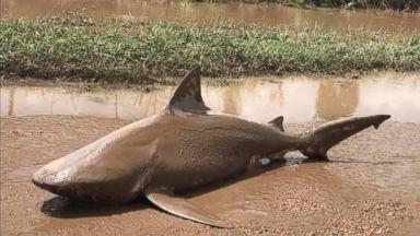 Australian cyclone leaves shark stranded upstream