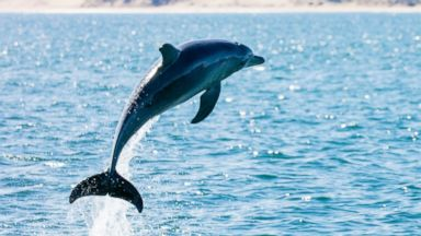 Playful, rutting dolphin leads French mayor to close beaches to protect swimmers