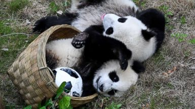 Baby giant pandas play their own World Cup