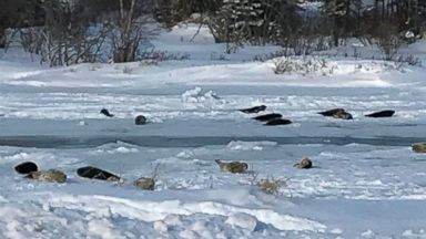 Seals take over a small town in Canada after ice traps their way back to sea