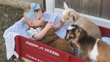 Baby girl bonds with baby goats