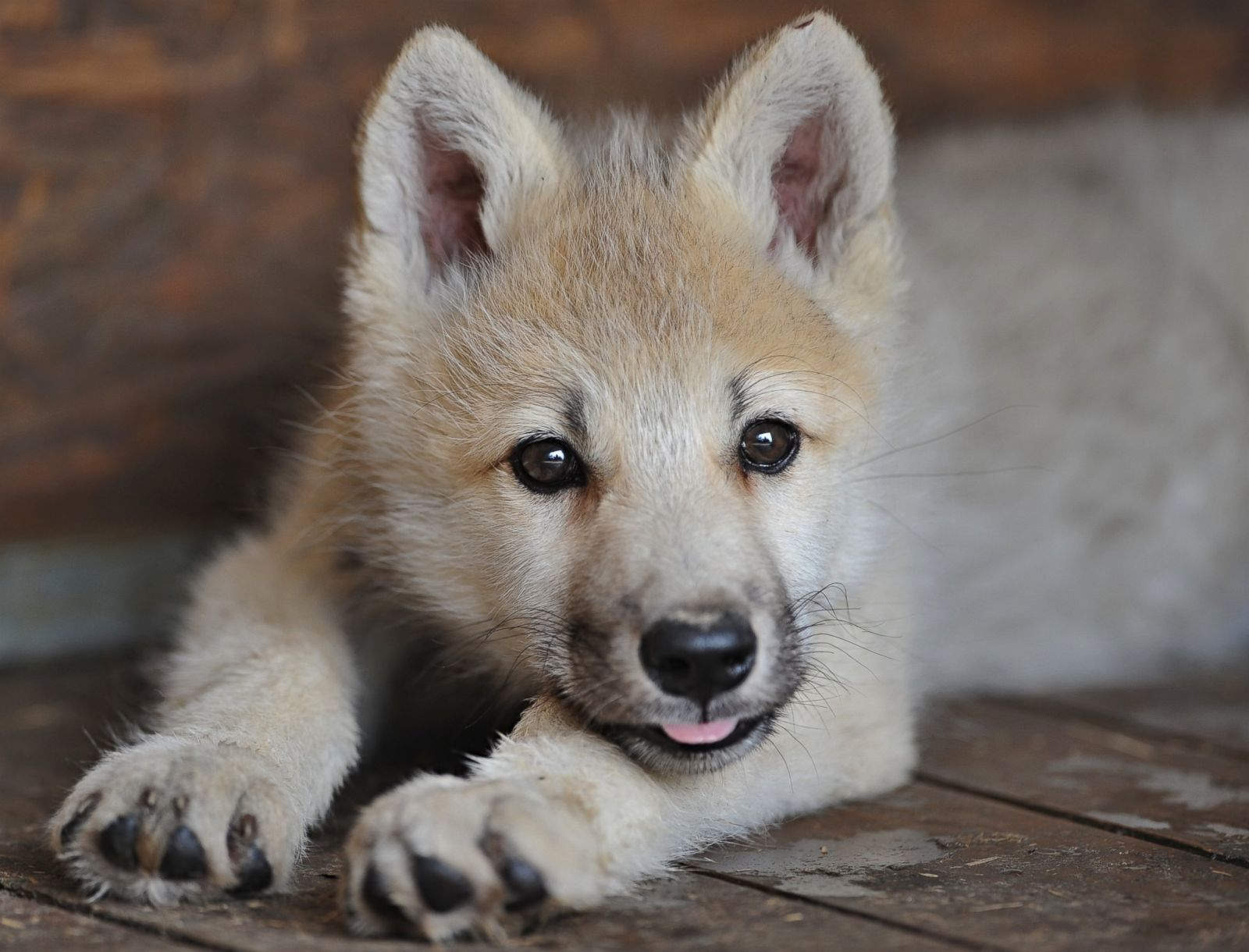 Wolf Cub Sticks Out Tongue Picture | Cutest baby animals ...