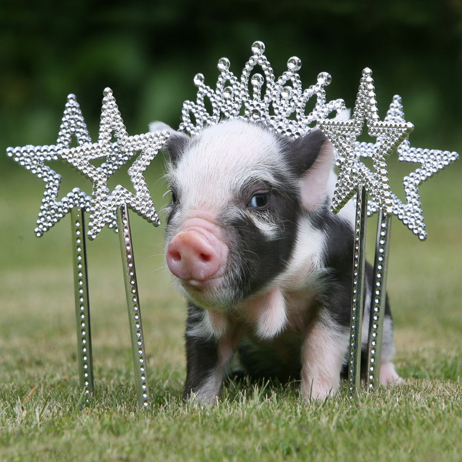 micro pig adorable pigs cute mini miniature funny piggy piglets piglet dwarf micropig pretty die birthday tiara ever
