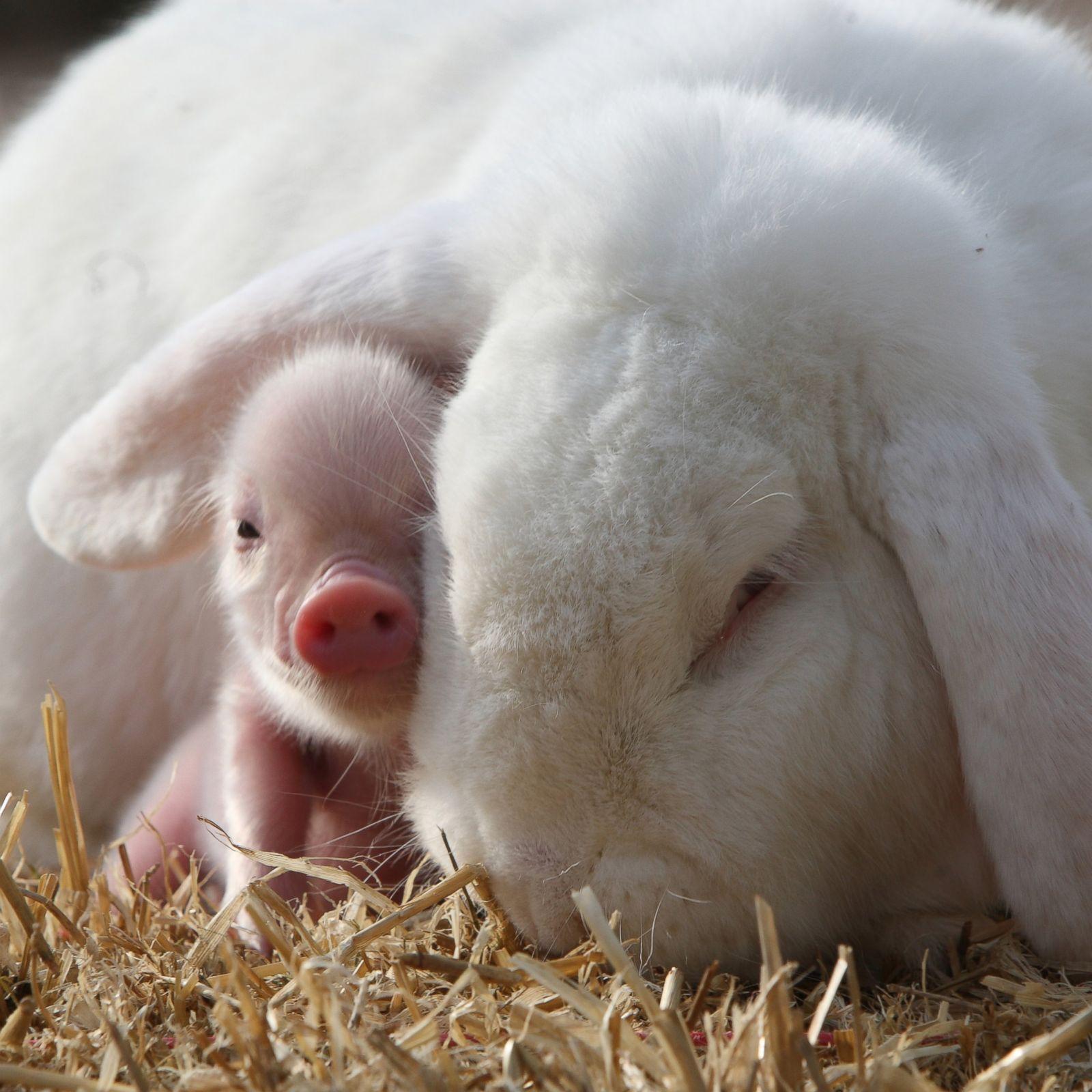 10 Most Adorable Micro Pig Photos Ever Photos Image 10