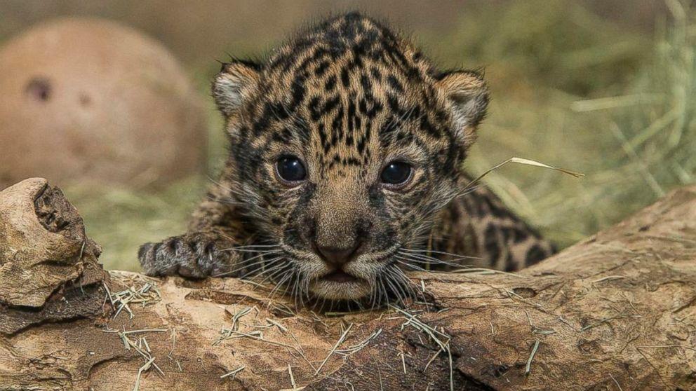 Baby Jaguar Born at San Diego Zoo is a Boy - ABC News