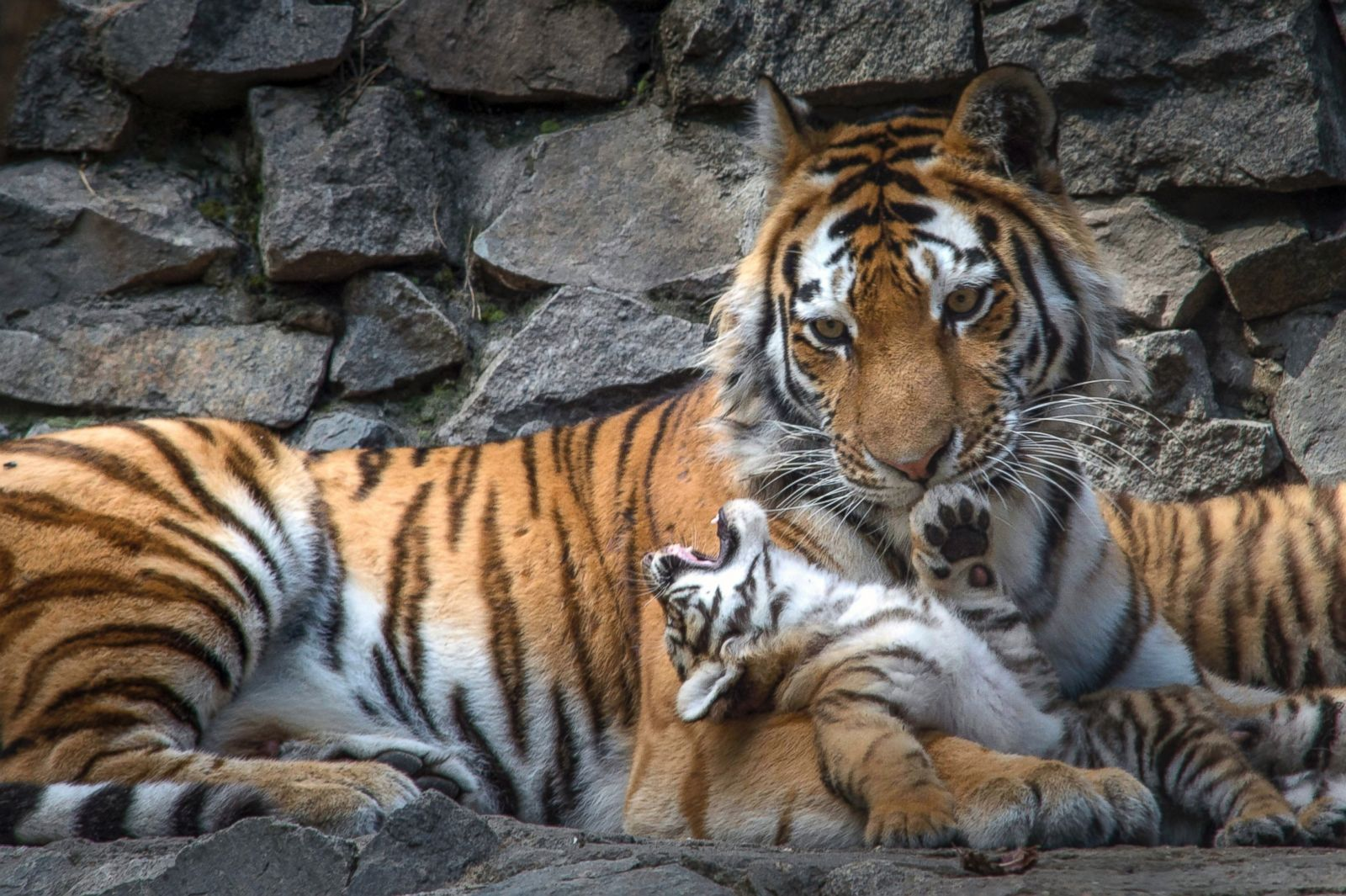 Newborn Tigers Pose for the Paparazzi Picture | Cutest ...