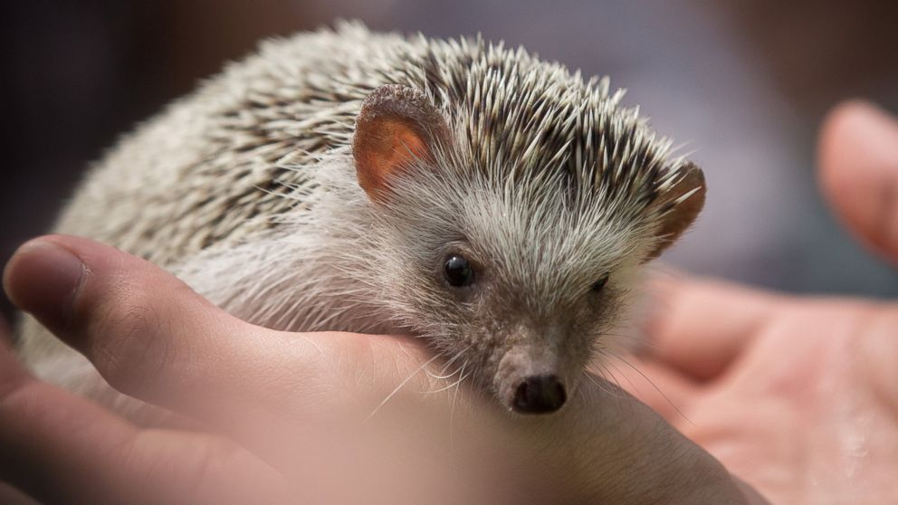 Hedgehogs Spike in Popularity as Pets - ABC News