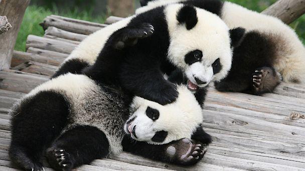 Panda Cam Live Feed