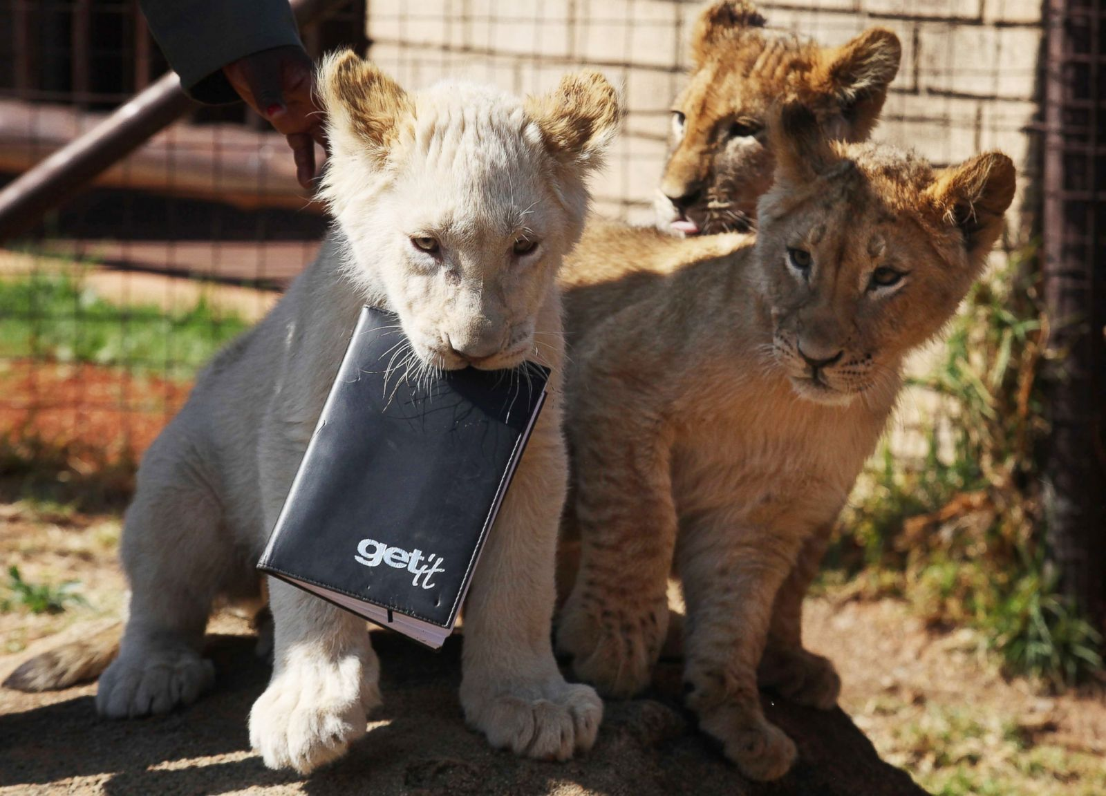 Cutest lion in the world - photo#35