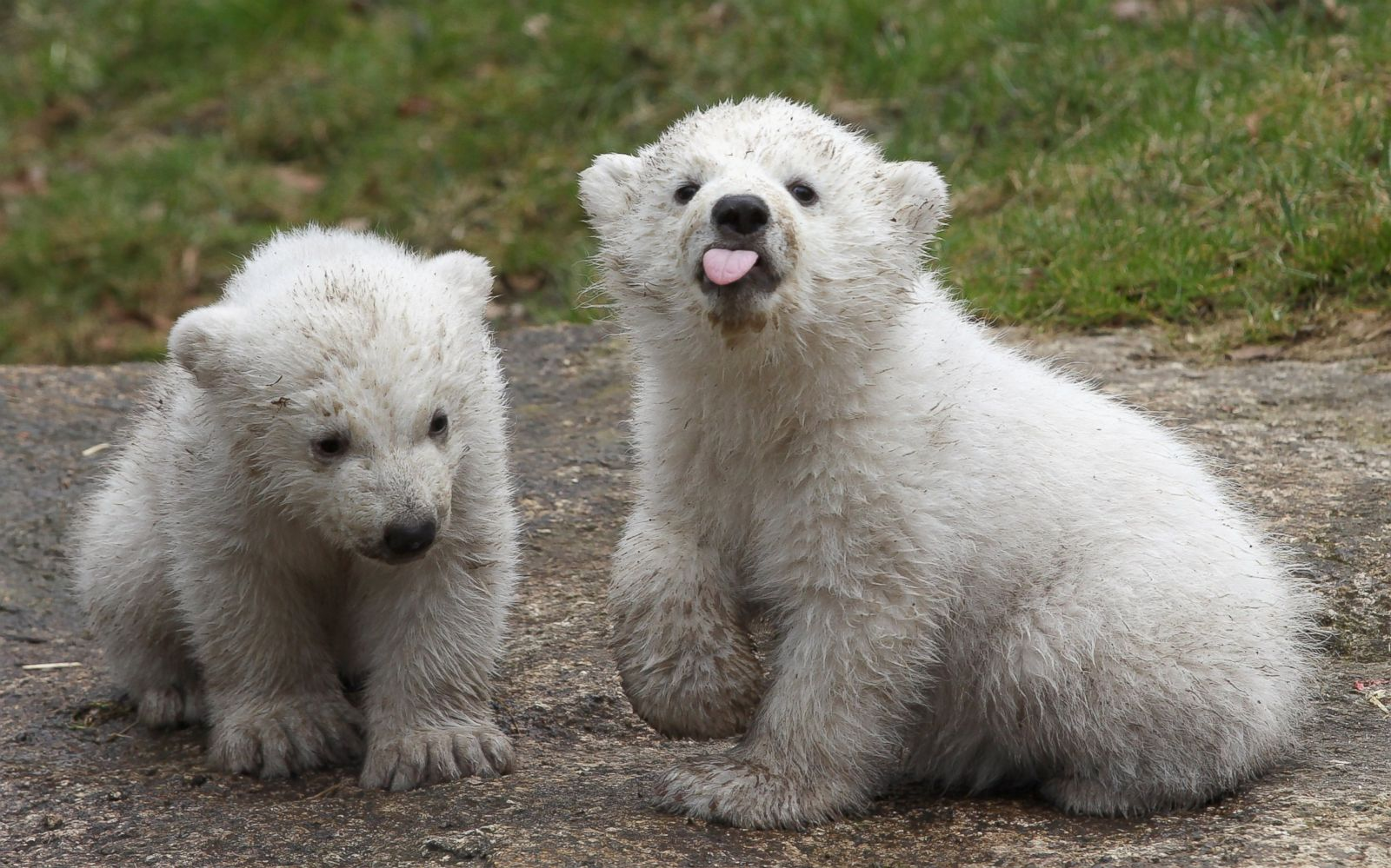 Polar Bear Twins Picture | Cutest baby animals from around ...