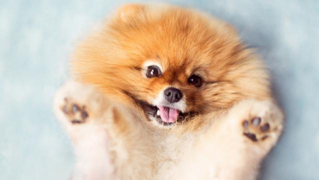 И, щенки - Померанский шпиц, Цены - Объявления