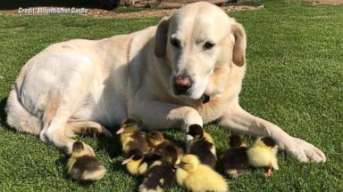 A dog 'adopted' these ducklings after their mom disappeared