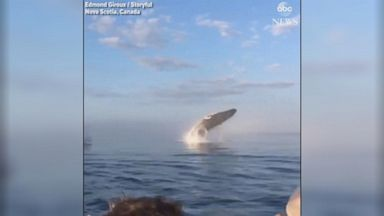 Rare triple whale breach close to boat stuns onlookers