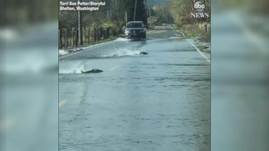 Salmon swim across flooded roadway