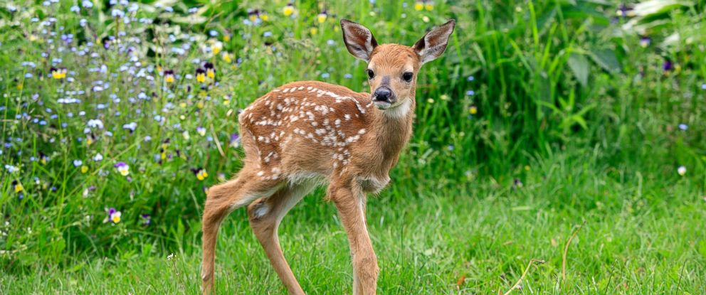 Cute Baby Deer Loves Being Tickled - ABC News - photo#4