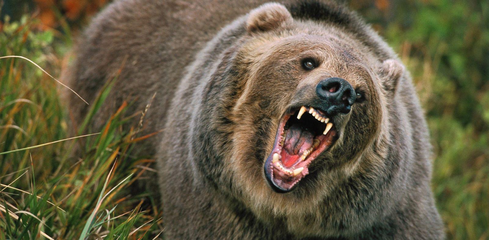 Bear Attacks Raise Safety Concerns - ABC News - photo#26